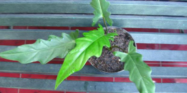 Herbal plant in Papua