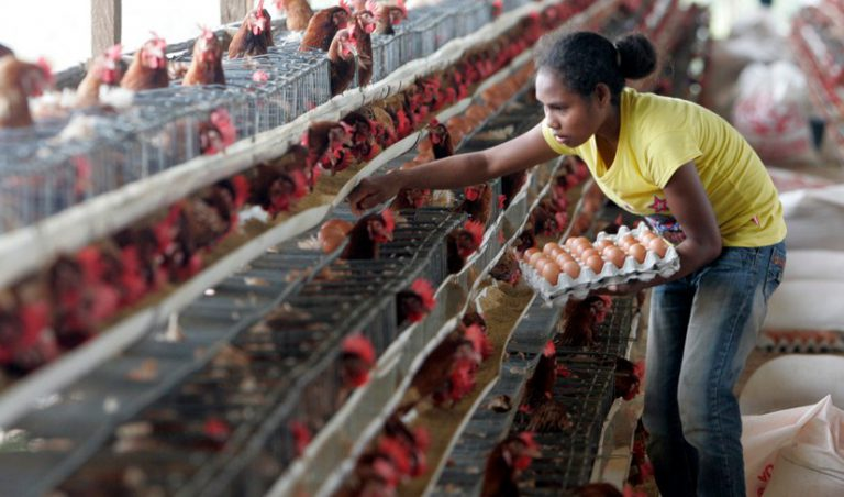 Poultry Farming Increase the Economic Livelihoods of Papuan